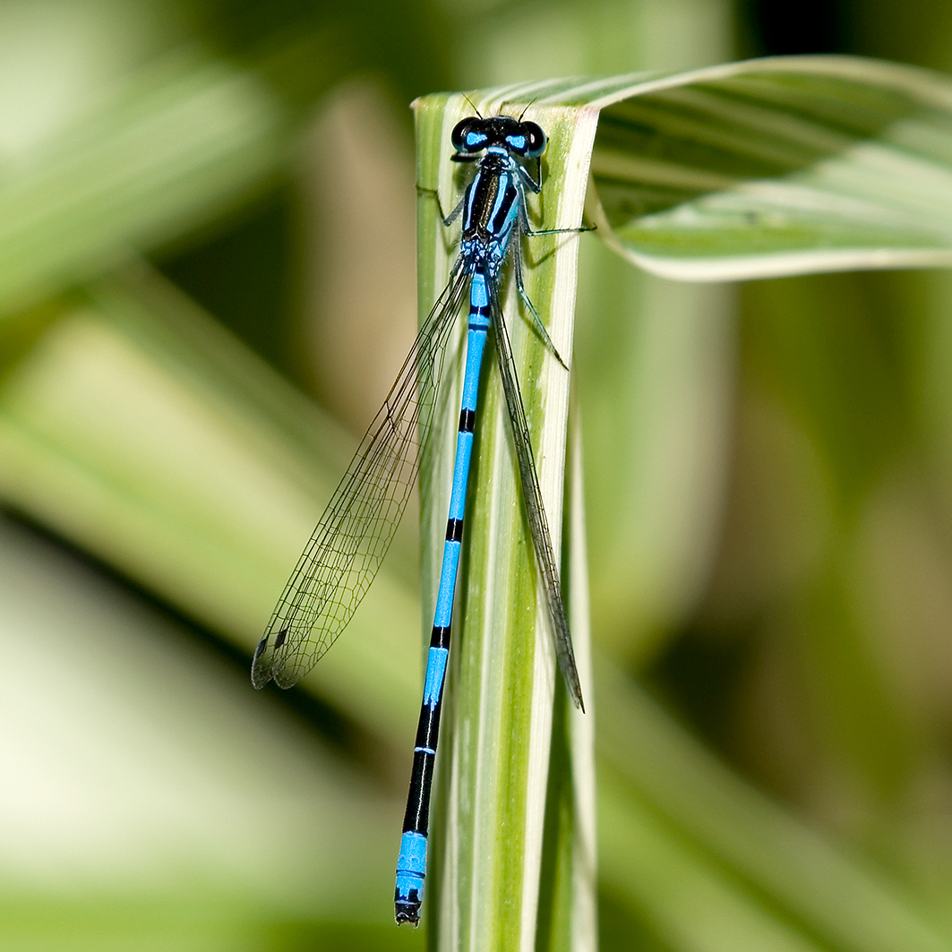 Azure Damselfly Highstone Farm