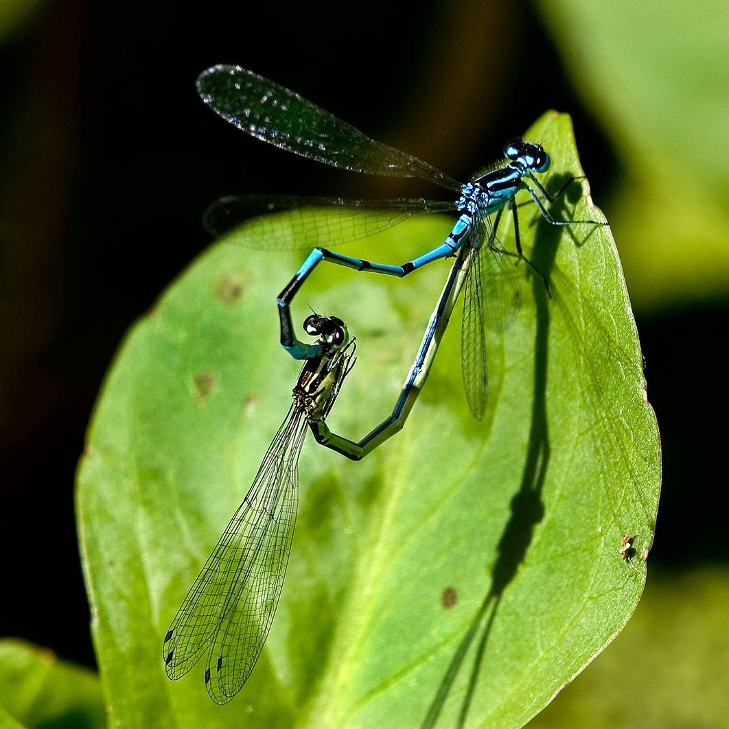 Azure Damselfly mating pair Highstone Farm