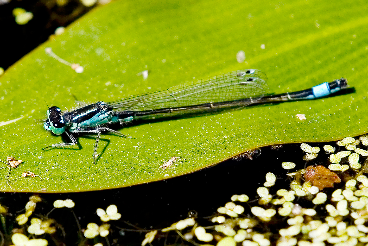 Blue-tailed Damselfly Highstone Farm
