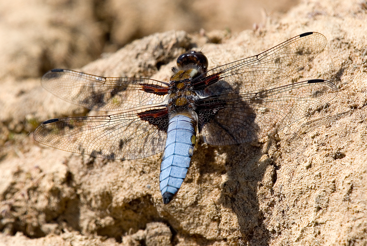 Broad-bodied Chaser Highstone Farm (2)