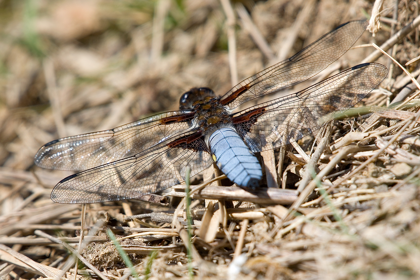 Broad-bodied Chaser Highstone Farm (3)