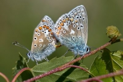 Common Blue pair mating on bramble