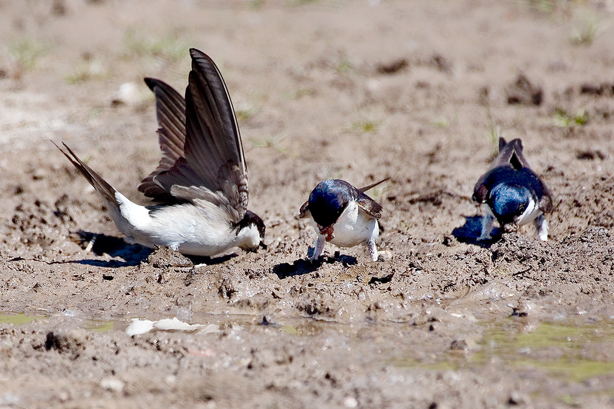 house martin collecting mud 25-may-2020 (1)
