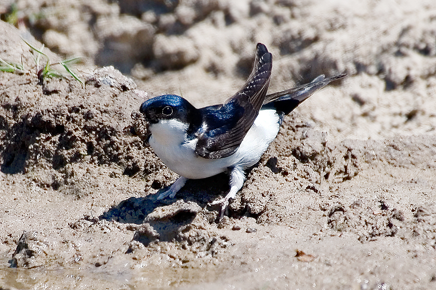 house martin collecting mud 25-may-2020 (2)