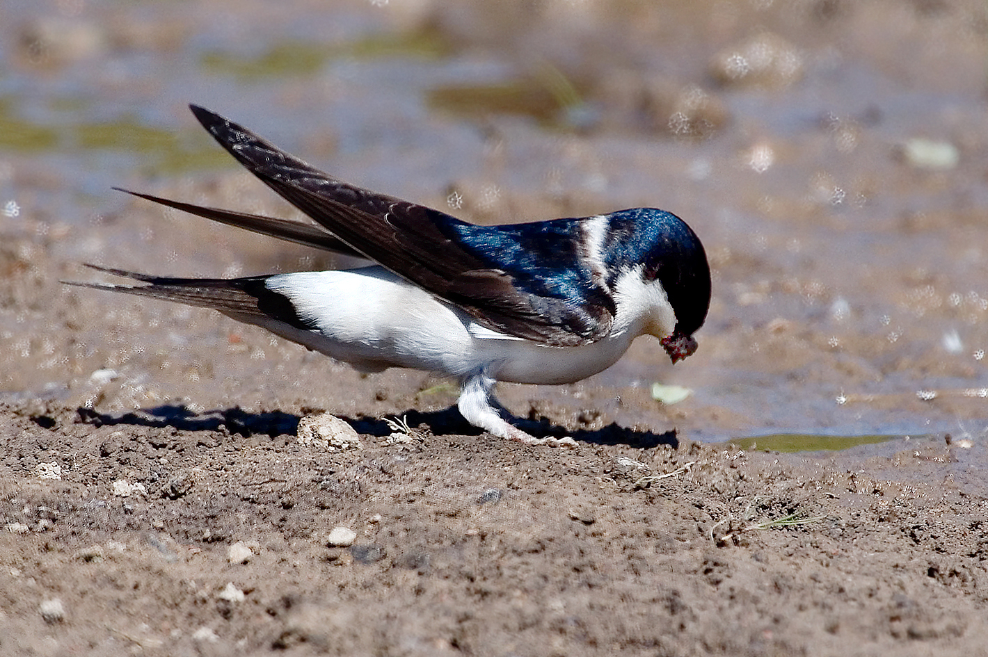 house martin collecting mud 25-may-2020 (3)