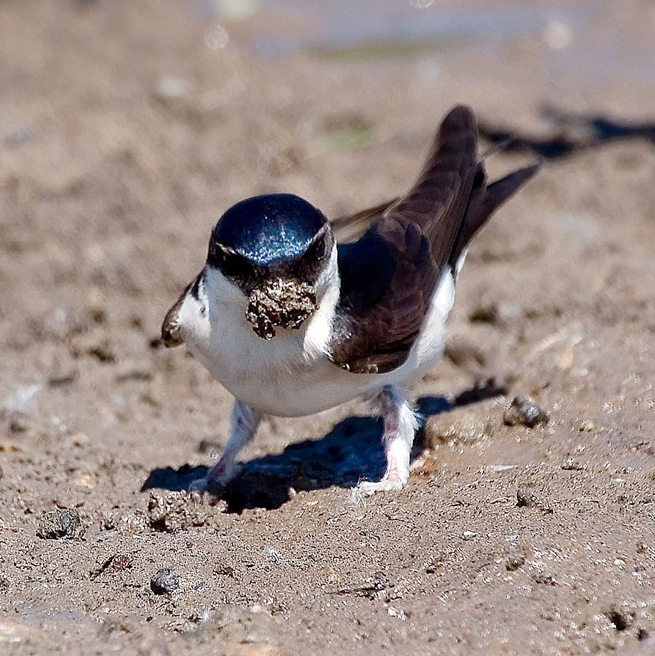 house martin collecting mud 25-may-2020 (4)