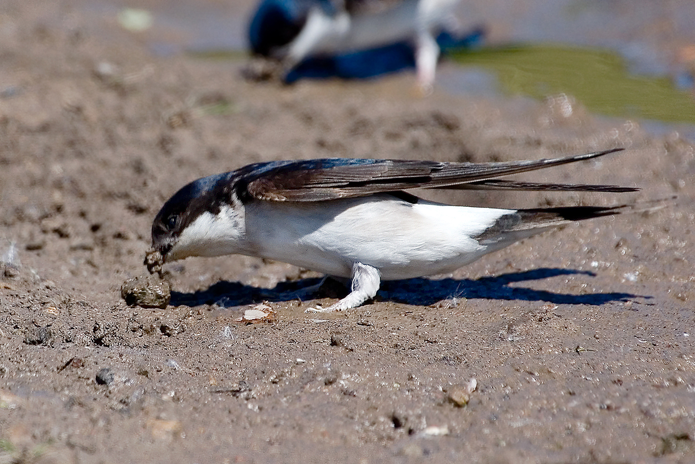 house martin collecting mud 25-may-2020 (5)