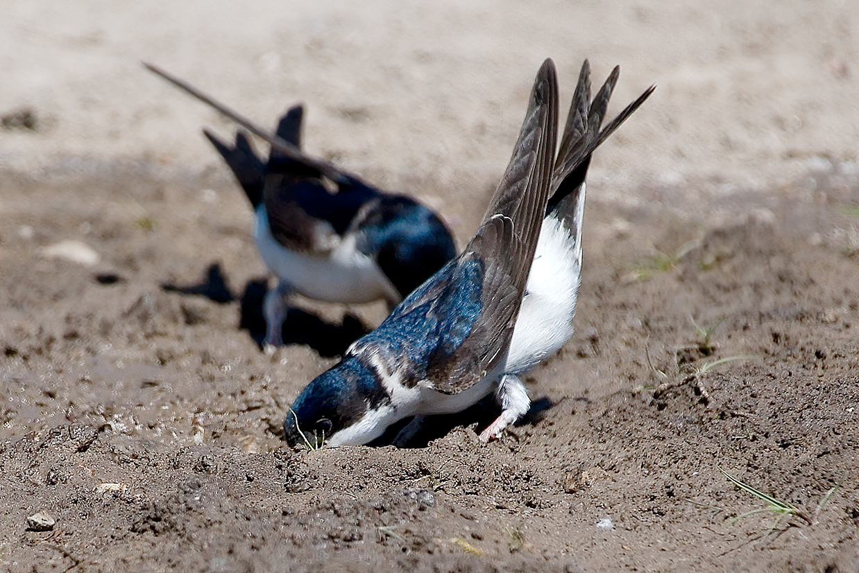 house martin collecting mud 25-may-2020 (6)
