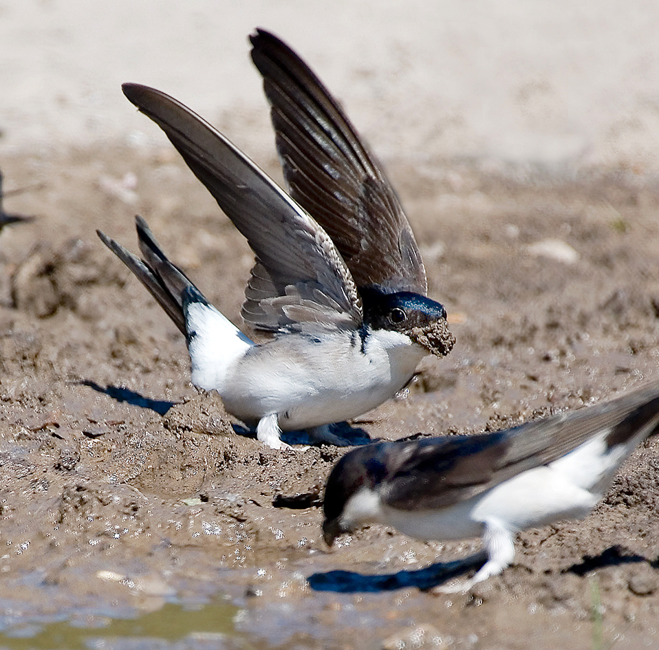 house martin collecting mud 25-may-2020 (7)