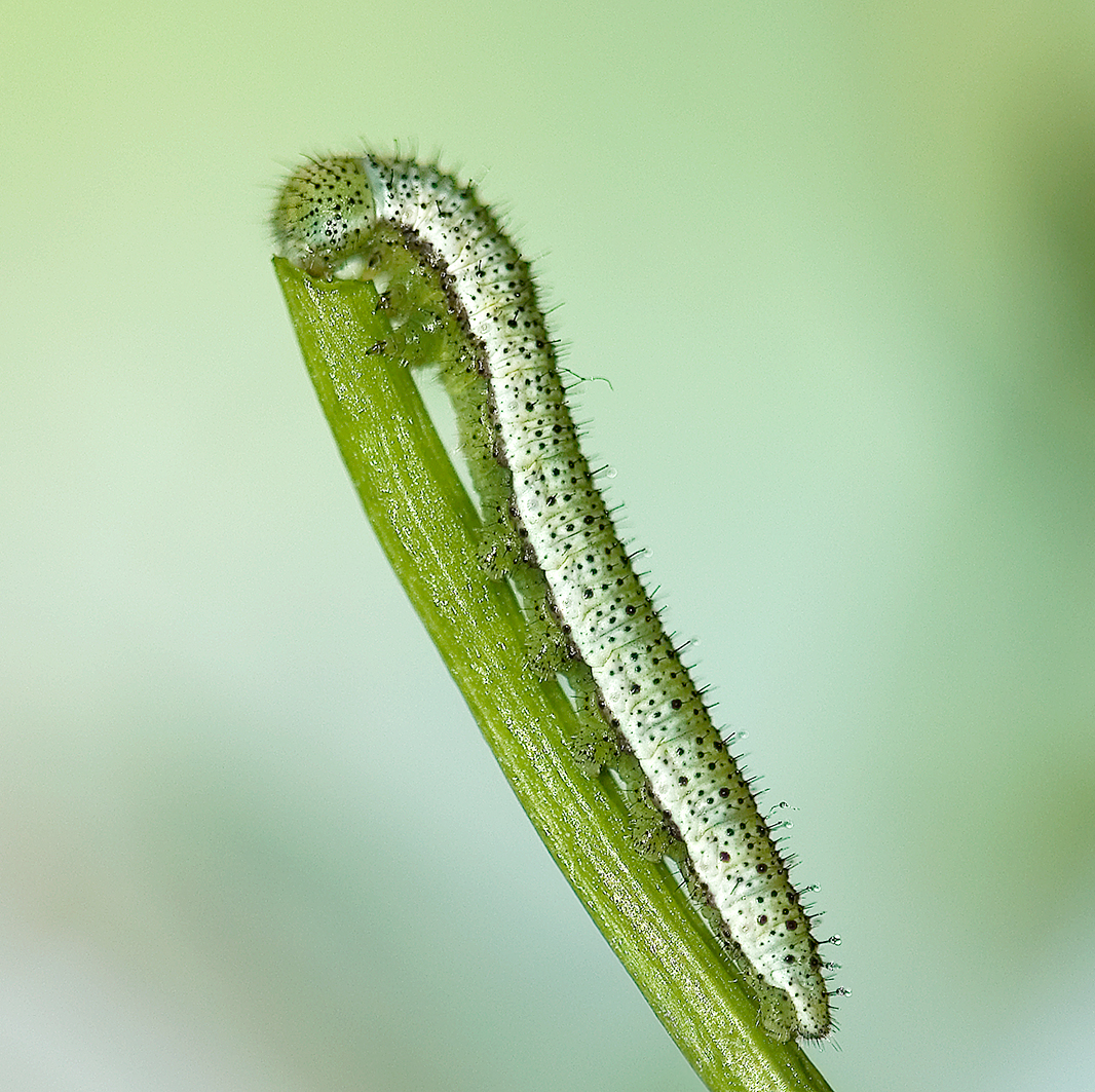 orange tip caterpillar 1st instar (3)