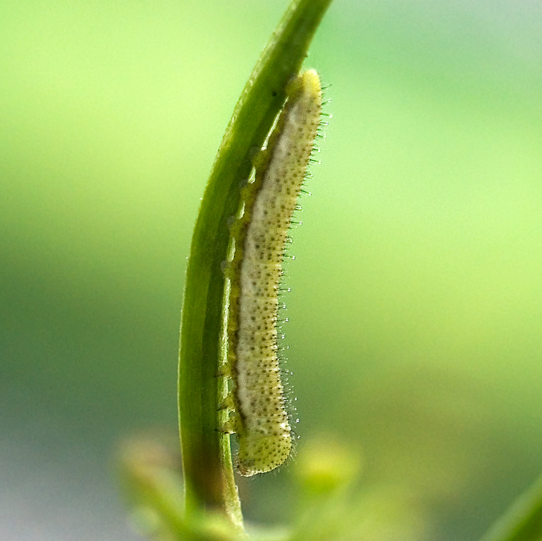 orange tip caterpillar 1st instar (5)