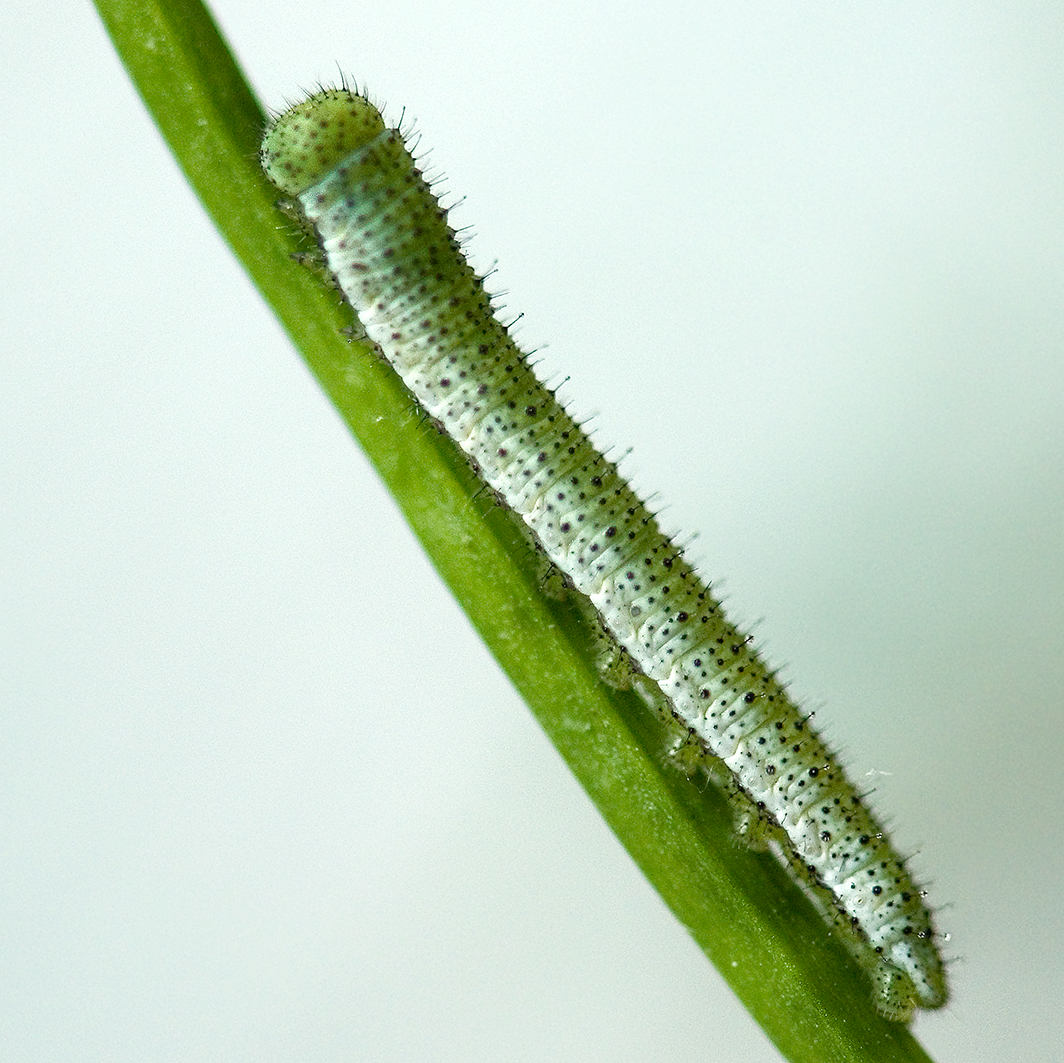 orange tip caterpillar 2nd-instar (2)