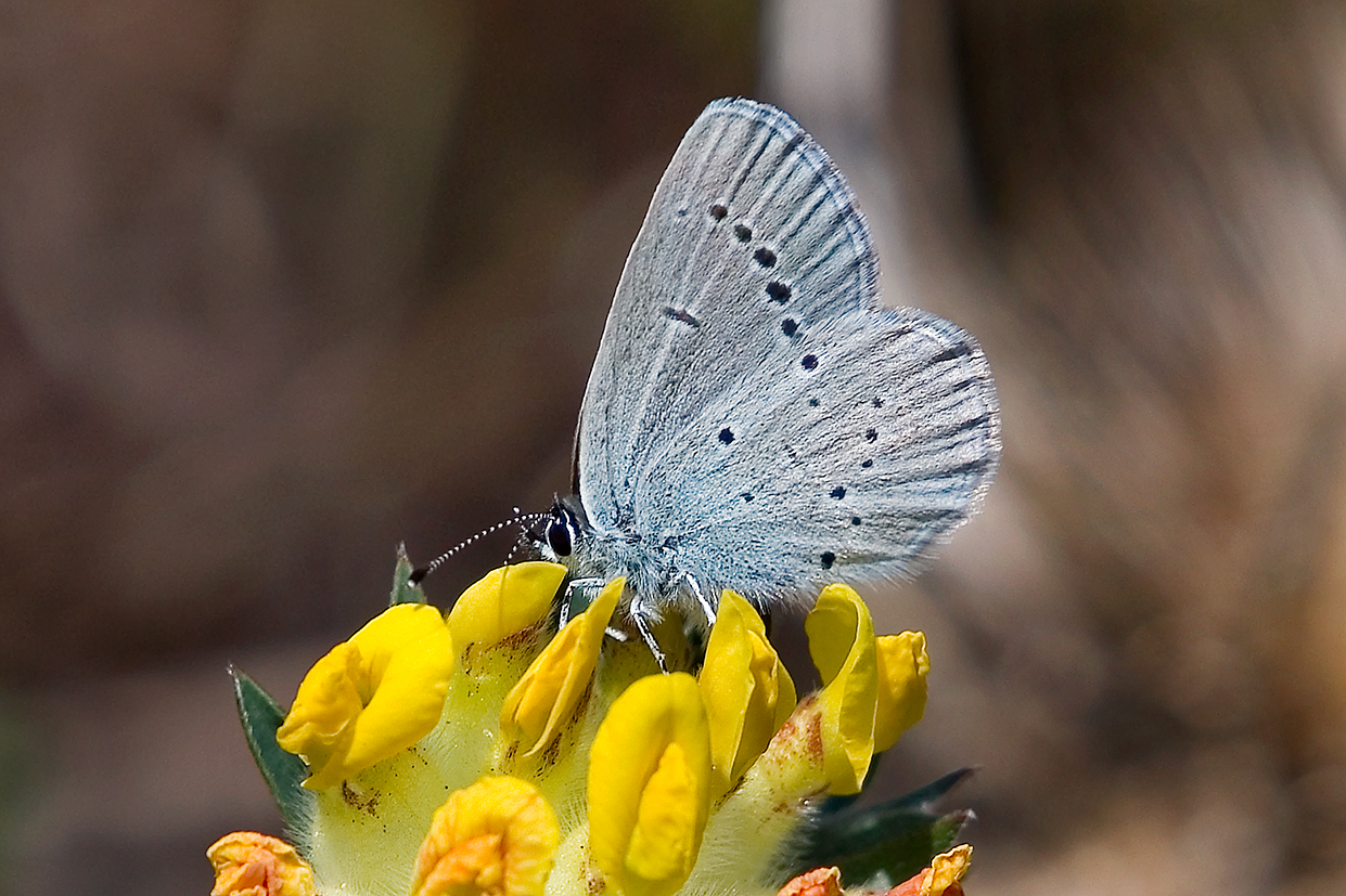 small blue 25-may-2020 (4)