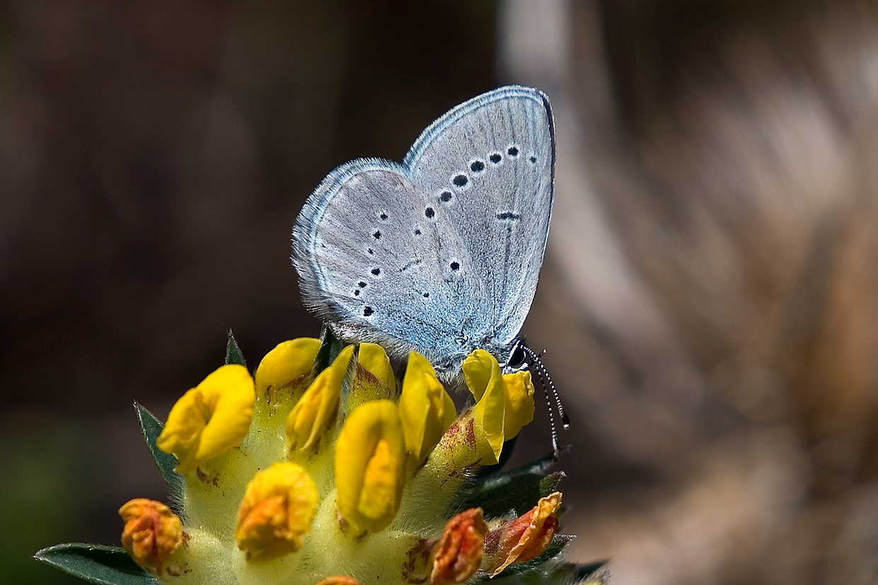 small blue 25-may-2020 (5)