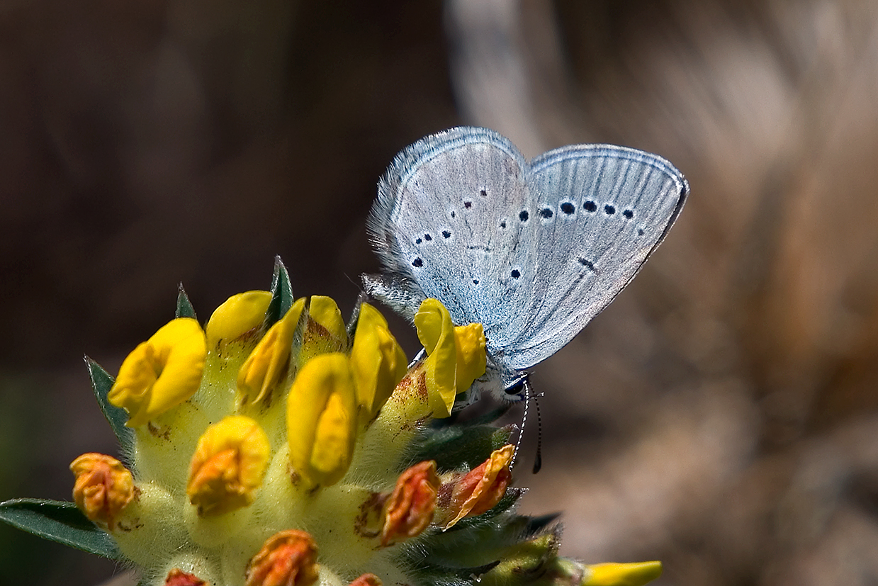 small blue 25-may-2020 (6)