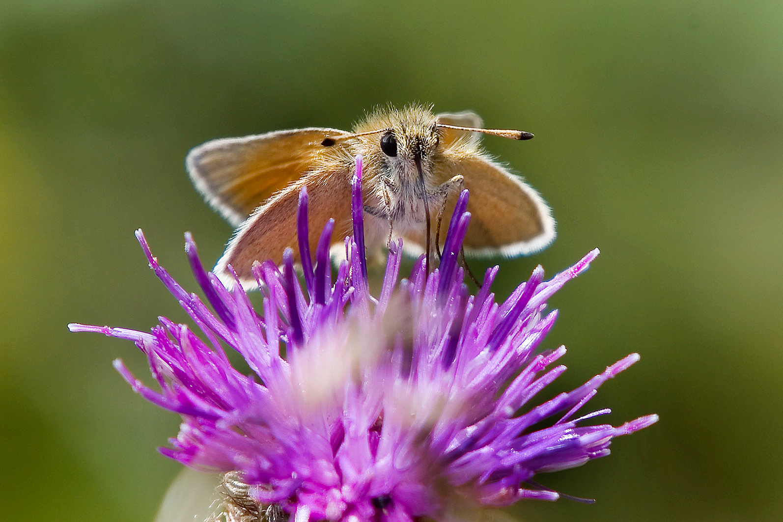 essex-skipper DSC_9928-web-19-july-2020