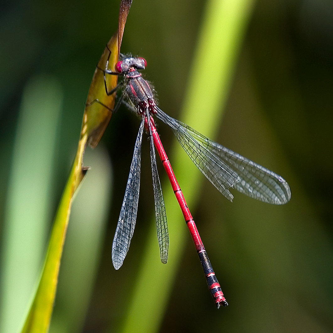 large-red-damselfly1-square-springvale-community-garden-DSC_9688-web-25-june-2020