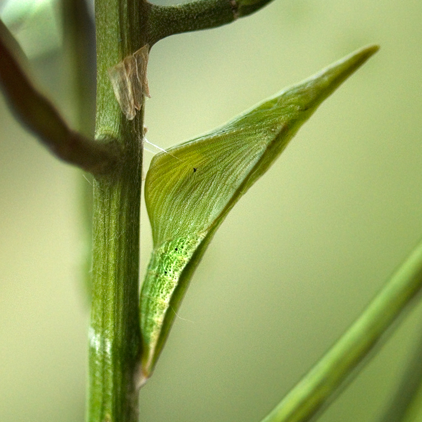 orange tip chrysalis initially green 13-june-2020