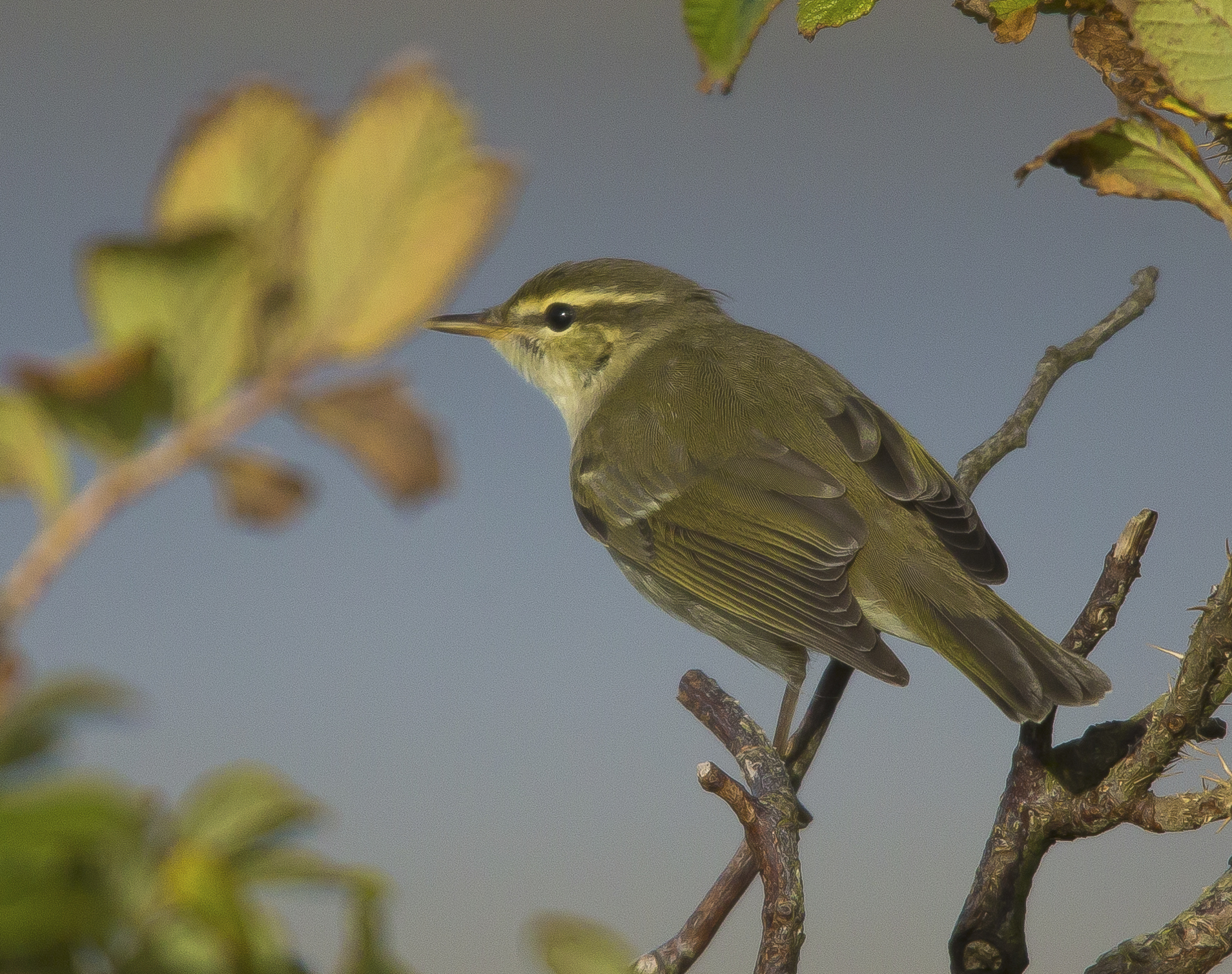 Arctic Warbler,  Shetlands, October 2020