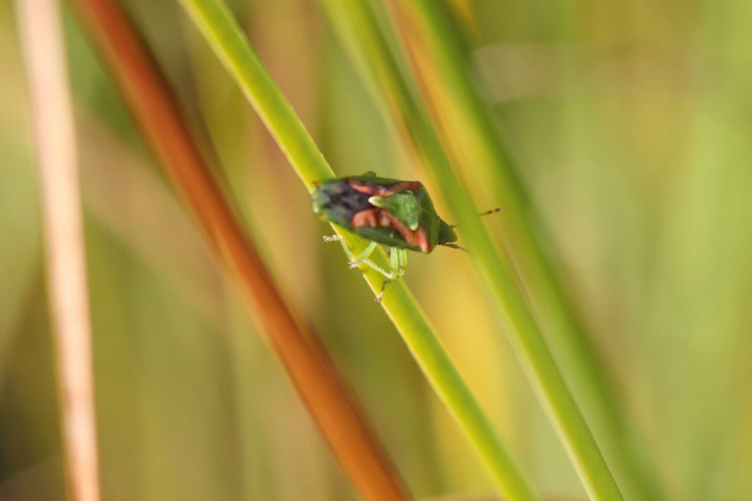 Juniper Shield bug, adult, Cyphostethus tristriatus