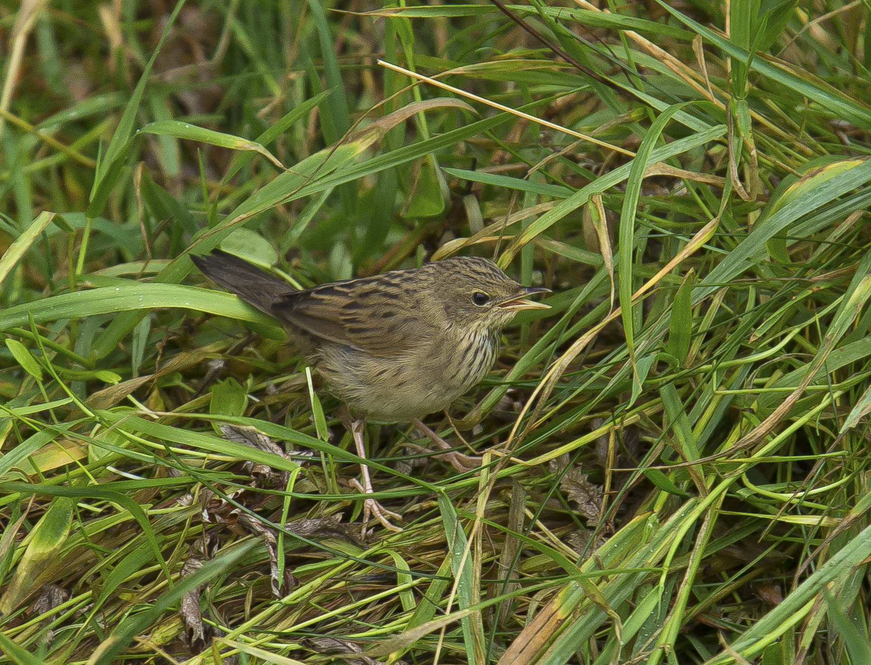 Lanceolated Warbler,  Shetlands, October 2020