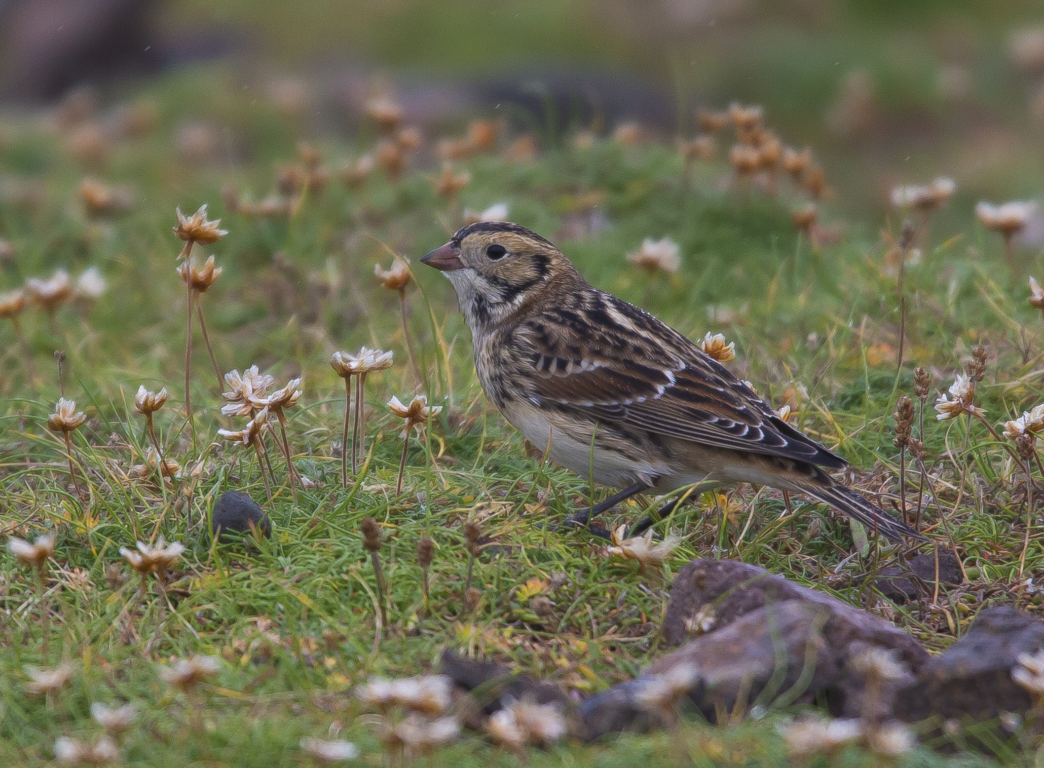 Lapland Bunting,  Shetlands, October 2020
