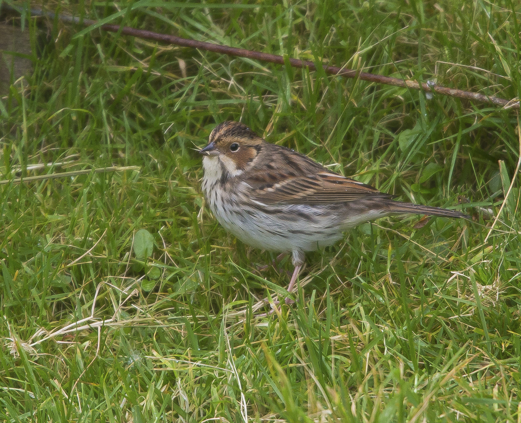 Little Bunting, Shetlands, October 2020