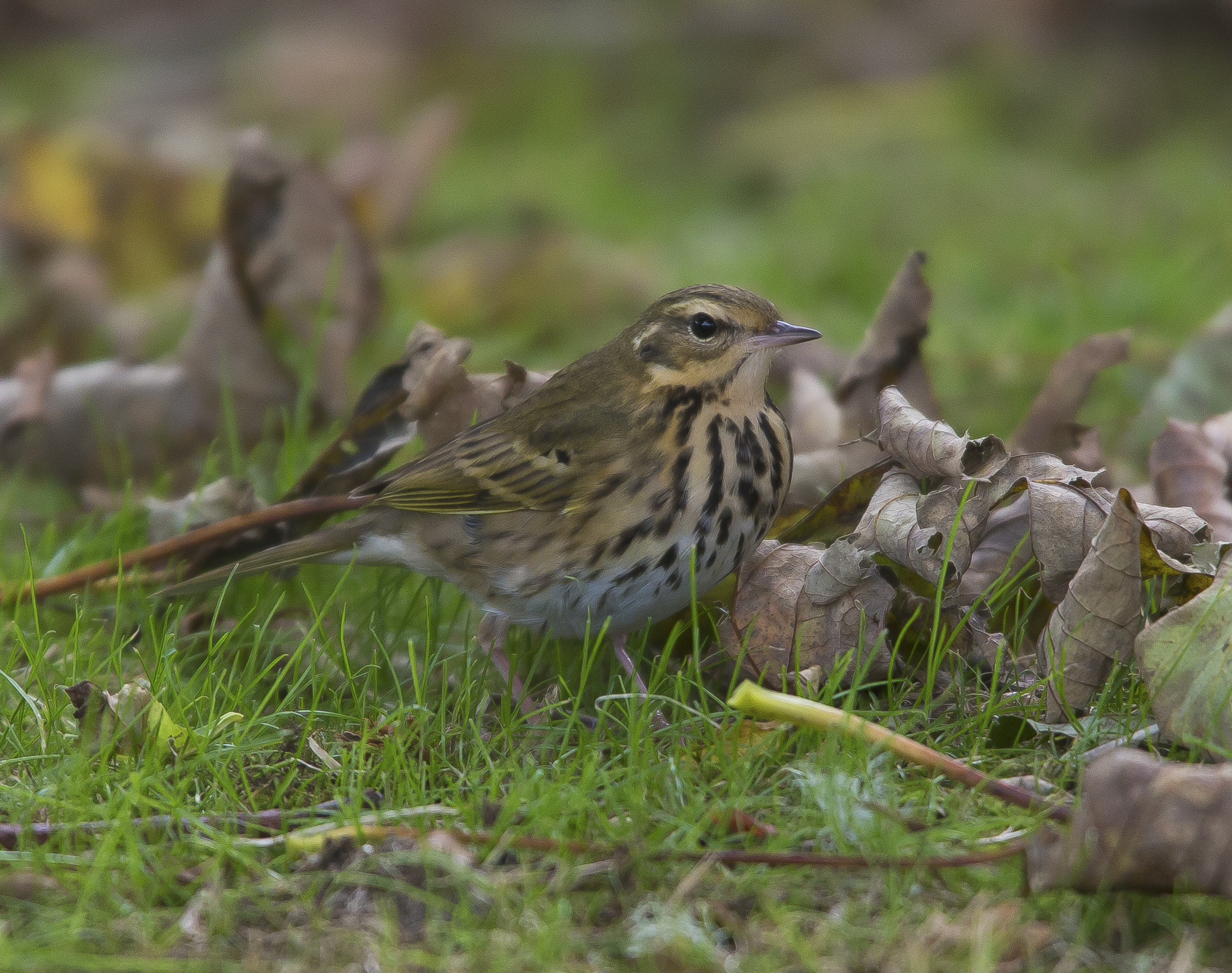Olive Backed Pipit,  Shetlands, October 2020
