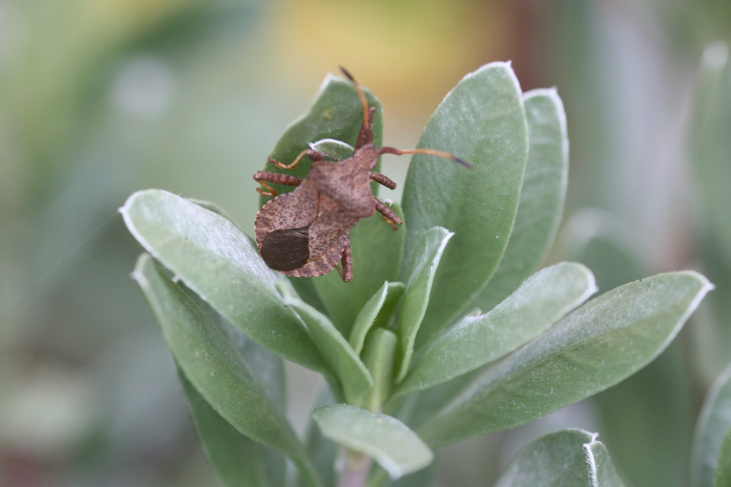Squash bug or Dock bug, Coreus marginatus