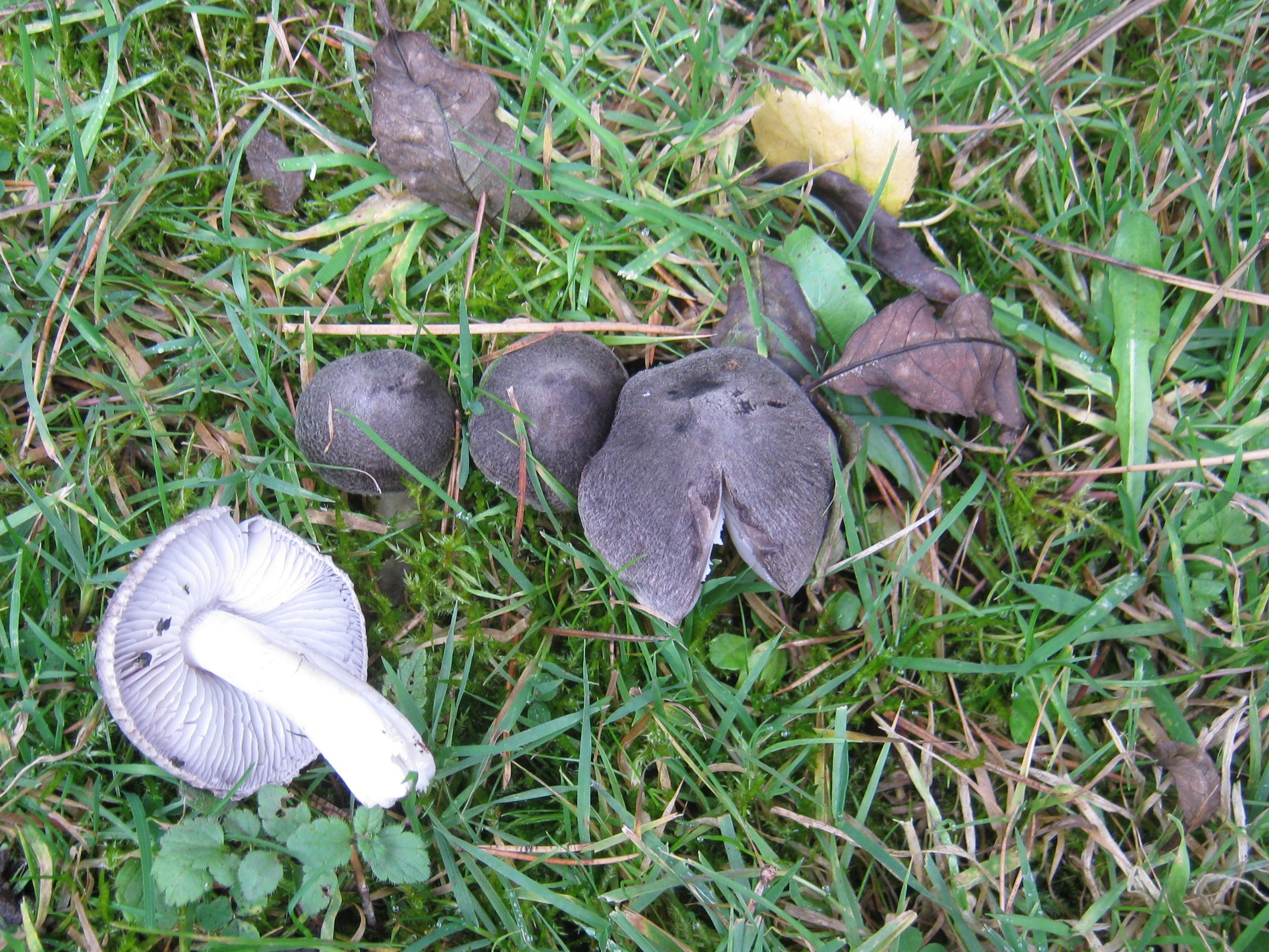 Tricholoma terreum, at Wortley Hall